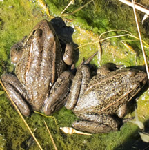 California Red-Legged Frogs