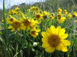 Wyethia angustifolia is a species of flowering plant in the aster family known by the common names California compassplant and narrowleaf mule's ears