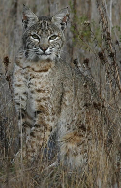 Bobcat. Photo: Kathy Frandeen