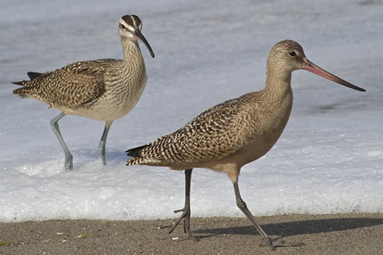 Shorebirds Whimbrel (left) and Godwit. Photo by Efren Adalem.
